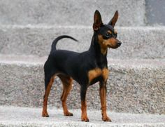 Prazsky Krysavik 20 to 23 cm to kg Black and Tan Unique Dog Breeds, Rare Dog Breeds, Mini Pinscher, Miniature Pinscher, Lap Dogs, Dogs And Puppies, Chihuahua Dogs, Silly Dogs, Cute Dogs