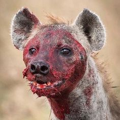 """""""Nature is never cruel, just unapologetically true to itself."""" A Spotted Hyena moments after bringing down a wildebeest African Holidays, Wildlife Protection, Wolf, Safari, Famous Monsters, Wildlife Conservation, Wildlife Nature, African Animals, Great Shots"""