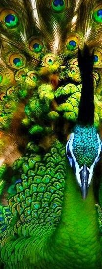The Green Peacock, a beauty!