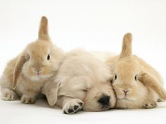 Golden Retriever Puppy Sleeping Between Two Young Sandy Lop Rabbits Stampe di Jane Burton su AllPosters.it