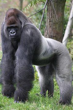 What a grand silverback! by marco_foto Gorila espalda plateada Nature Animals, Zoo Animals, Animals And Pets, Funny Animals, Cute Animals, Strange Animals, Primates, Mammals, Majestic Animals
