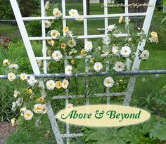 This sweetly-scented climbing rose blooms prolifically in spring and can be trained to climb Flowers For Butterflies, Butterfly Bush, Monarch Butterfly, Butterfly Garden Plants, Hummingbird Plants, Garden Arches, Diy Garden Projects, Garden Ideas, Blooming Rose