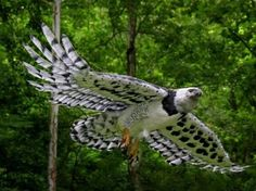Harpy Eagle-One day :) This would be the highlight of my falconry career.