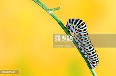 Swallowtail Caterpillar , Papilio Machaon. © Riccardo Sala / age fotostock - Stock Photos, Videos and Vectors