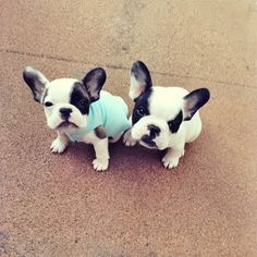 'Little Tough Guys', French Bulldog Puppies.