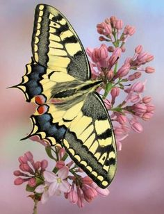 This is a Swallowtail. A very common butterfly that exist all around the world except for Antartica. Clegg refers to this butterfly when he acquires his van, allowing him to catch a wider range of butterflies. Butterfly Kisses, Butterfly Flowers, Butterfly Photos, Green Butterfly, Butterfly Wings, Pink Flowers, Beautiful Bugs, Beautiful Butterflies, Beautiful Pictures