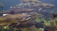 Protecting Wild Salmon & Steelhead in California's Smith River - Amberjack Journal Fishing Videos, Will Smith, Salmon, Journal, River, Pets, Animals And Pets, Journal Entries, Atlantic Salmon