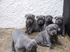 Blue-Staffordshire-Bull-Terrier-Puppies - American Bully And ...