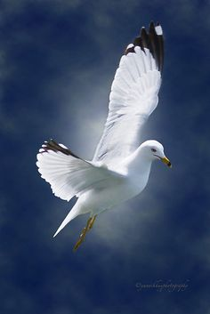 White Gulls are the totems of angels.... by Yannik Hay.