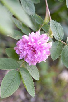 The rose of Torniojokilaakso