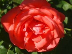"""Frank's Flowers - The """"Rolly Rose"""""""