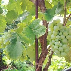 #Chardonnay grapes almost ready for 2016 #harvest