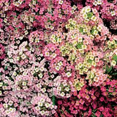 Pastel Carpet is the most floriferous, vigorous, and colorful Sweet Alyssum yet, with soft shades of rose, pink, violet, blue, white, and creamy-yellow all over low-growing, 3-inch-tall plants!