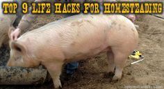How to weigh a pig without a scale
