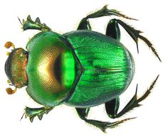 Onthophagus dives