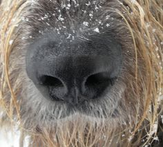Irish Wolfhound. Every part of a Wolfie is beautiful