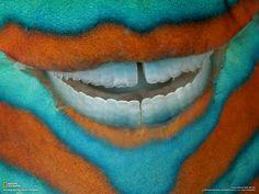 No, it's not a weird clown. It's a bridled parrotfish.