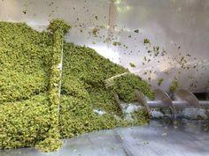 Dry and Windy, thats De Wetshof Harvest 2015 Wines, Harvest