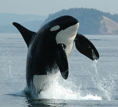 Would love to be able to photograph orcas for a living!!! Love them! :)
