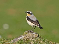 Wheatear (copyright Jim Bevan) spotted in the yurt field at Kite Hill Yurts Kite Hill, Wester Ross, Chaffinch, Bird Migration, Spring Birds, Pretty Birds, Natural World, Wildlife, Creatures