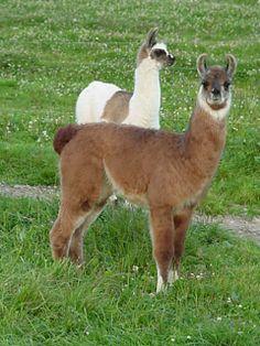 South American Llama  Letters