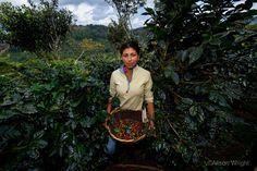 Woman picking coffee, Matagalpa, Nicaragua. Photograph by Alison Wright