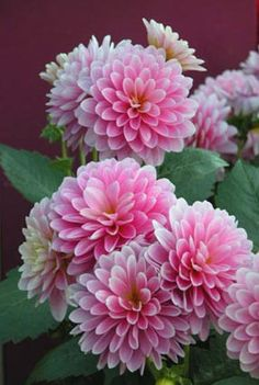 Pink dahlias- Im determined to have these in my yard this year. They are stunning! Dahlia Flower, My Flower, Exotic Flowers, Pink Flowers, Types Of Flowers, Beautiful Flowers, Zinnias, Garden Plants, Fruit Garden