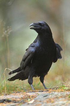Rose Retreat — Vogel foto: Corvus corax / Raaf / Northern Raven