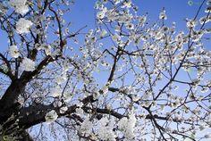 Ver y Conocer Extremadura - Foto - Cerezo en flor (693529)