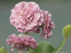 A pink double auricula. Bred by Derek Salt in Primula Auricula, Primroses, Plants, Pink, Salt, Garden Ideas, Gardening, Theatres, Flower