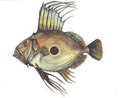John Dory by Gwen Burns Fish Anatomy, Anatomy Drawing, Saint Peters Fish, John Dory Fish, Fish Illustration, Illustrations, Awesome Wow, Marine Fish, Fish Shapes