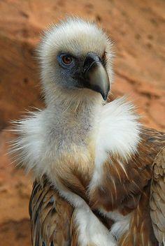 Griffon Vulture (Gyps fulvus) by Steve Liptrot Photography