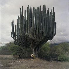 Most impressive saguaro cactus I have ever seen.  This must be over 200 years old.