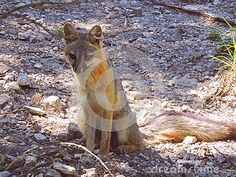 This beautiful red and gray female fox sits curiously as she observes her surroundings.