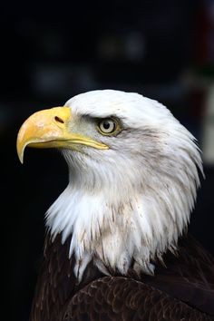 Bald Eagle (Haliaeetus Leucocephalus) photographed during the Falconry Fair 2012 at Falconcrest, Eindhoven.