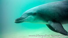 #golfinho #golfinhosfofos #golfinhos #golfinhosvideos Whale, Animals, Diving, Dolphins, Animales, Animaux, Whales, Animal, Animais
