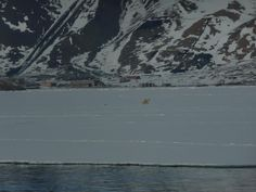 Polar bears walking on ice in front of the abandoned Russian mining town of Pyramiden.