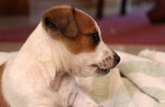 Jack russell terrier, dog, puppy, animal wallpaper