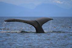 Humpback Whale, Petersburg AK. Photo by Joe Barstow