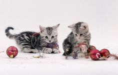 A photo of two Silver Tabby kittens with Christmas baubles. Christmas Tinsel, Christmas Kitten, Kittens Cutest, Cats And Kittens, Silver Tabby Kitten, Kitten Names, Kittens Playing, Boho Wedding Dress, Animals