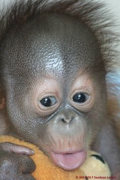 Monkey See Monkey Do, Cute Baby Monkey, Primates, Cute Animal Memes, Funny Animals, Beautiful Creatures, Animals Beautiful, Save The Orangutans, Types Of Monkeys