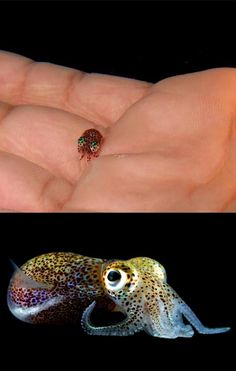 The Hawaiian Bobtail Squid. Lookee the little baby! This tiny squid which grows to only 2 inches long is known as the Hawaiian Bobtail Squid and it's got some pretty nifty tricks up its 10 sleeves.