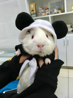 Costumed baby Guinea pig or Micky mouse? Guinea Pig Costumes, Guinea Pig Clothes, Animal Costumes, Pet Costumes, Baby Animals Super Cute, Cute Little Animals, Cute Funny Animals, Baby Guinea Pigs, Baby Pigs