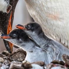 A gentoo penguin parent prepares to offload a mouthful of lobster krill into the mouths of its newborn chicks. Gentoos normally raise two chicks. In order to pull off this monumental task, they need productive seas close to the nesting colony.  Despite the two eggs being laid 4 days apart from each other, they both hatch within the space of 24 hours. Gentoo penguins put equal effort into raising both chicks, and have the ability to produce large numbers of chicks in seasons of high food…