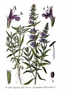 Spring Issue: Herbs of The Bible-https://www.patreon.com/posts/hyssop-materia-4400186