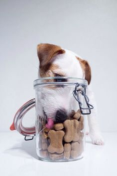 Doggie eating treats form a jar. Dog portrait, dog photography of a jack russel terrier puppy white and brown.