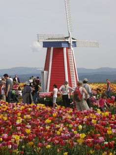 Woodburn, Oregon has been celebrating its Tulip Fest every year starting in March since 1986. There are over 1 million tulip bulbs as well as daffodils, with over 145,000 yearly visitors.