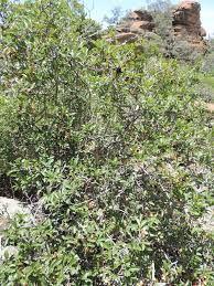 Ochna pretoriensis - Google Search Shrubs, Perennials, Google Search, Plants, Planters, Perennial, Plant, Planting