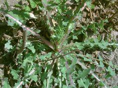 Mimetizzato nel tappeto erboso dei prati, il crespigno con le sue foglie croccanti e il suo sapore caratteristico è una pianta selvati... Champs, Gardening, Portion Plate, Vegetables, Garten, Lawn And Garden, Garden, Square Foot Gardening, Garden Care