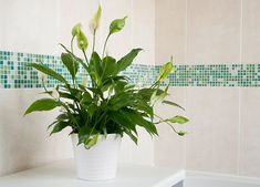 Indoor plants for windowless bathroom house the o bathrooms peace lily small decor ideas . house plants for bathroom uk decoration Best Indoor Plants, Cool Plants, Indoor Garden, Garden Plants, Home And Garden, Flowering Plants, Air Plants, Peace Lily, Begonia
